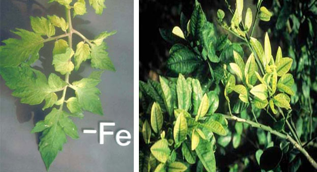 Symptoms of iron deficiency chlorosis