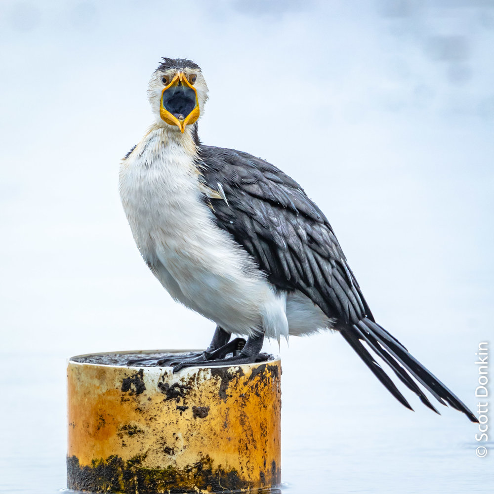 Little pied cormorant (Microcarbo melanoleucos). Tuggerah Lakes, New South Wales.