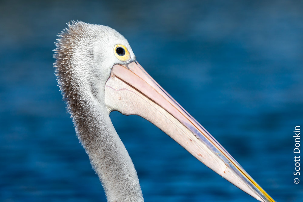 Australian Pelican (Pelecanidae). The Entrance, New South Wales.