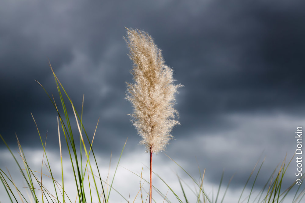 Pampas grass. Gosford, New South Wales.