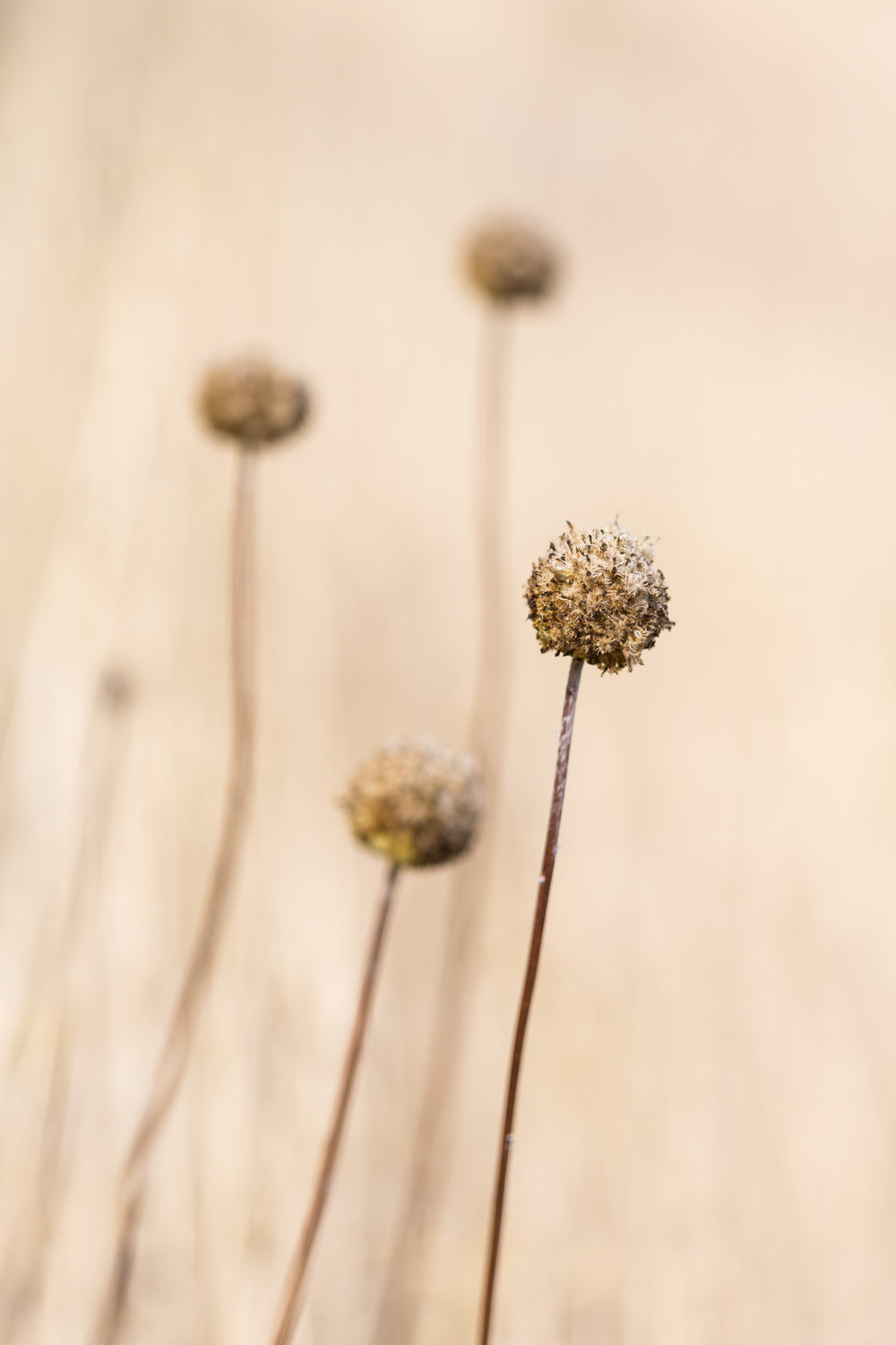 Dry plants. Country New South Wales.
