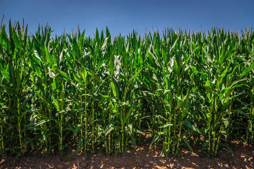 Corn plantation. Murray River district, Victoria.