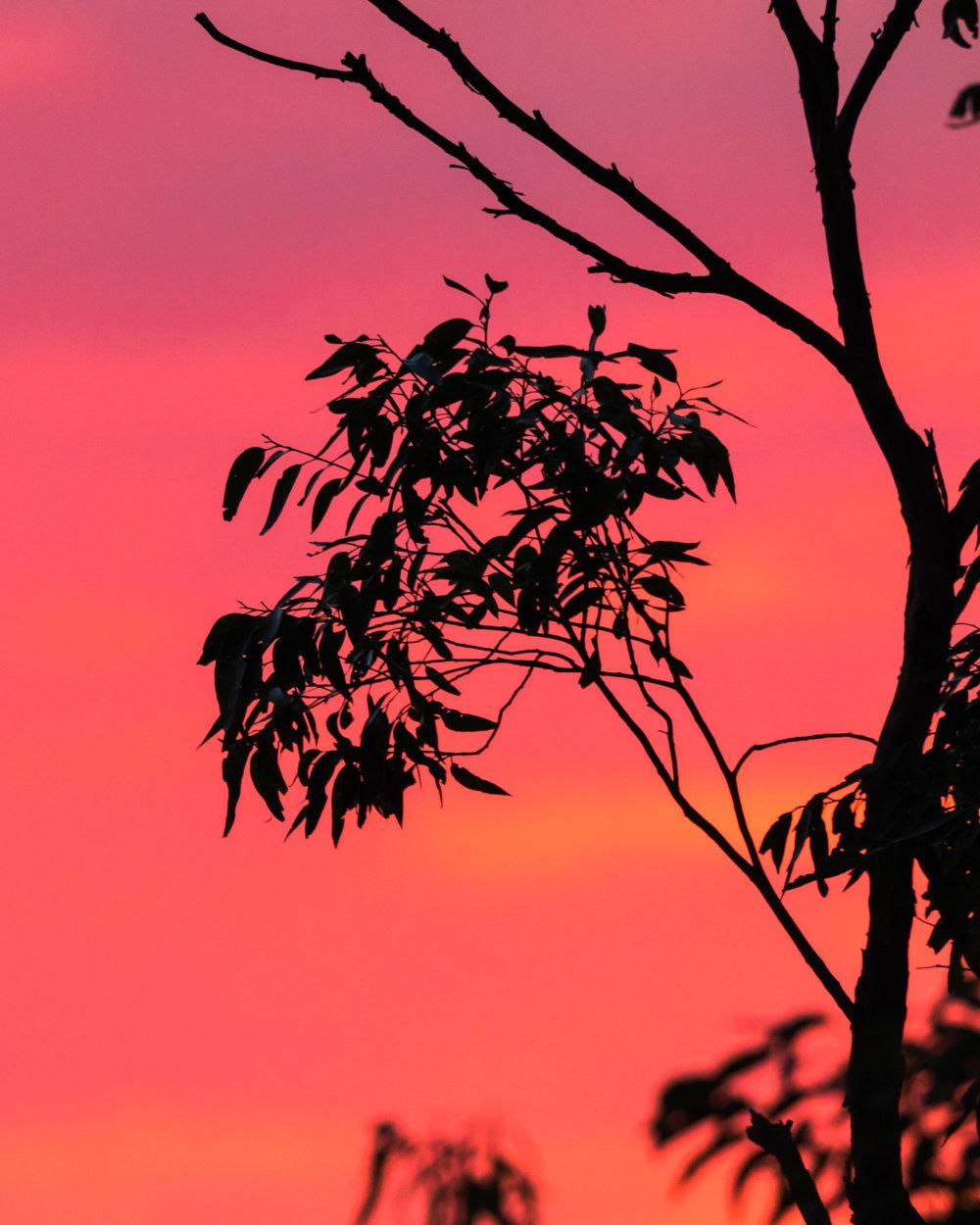 Eucalyptus leaves at sunset. Mosman, Sydney.
