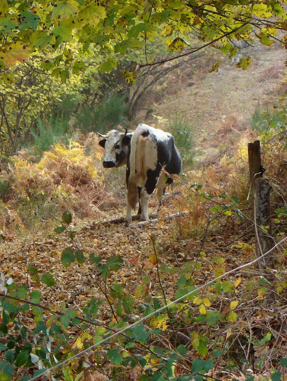 Cow_in_brambles.jpg