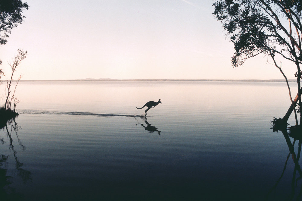 Kangaroo on Lake Cootharaba - QUEENSLAND