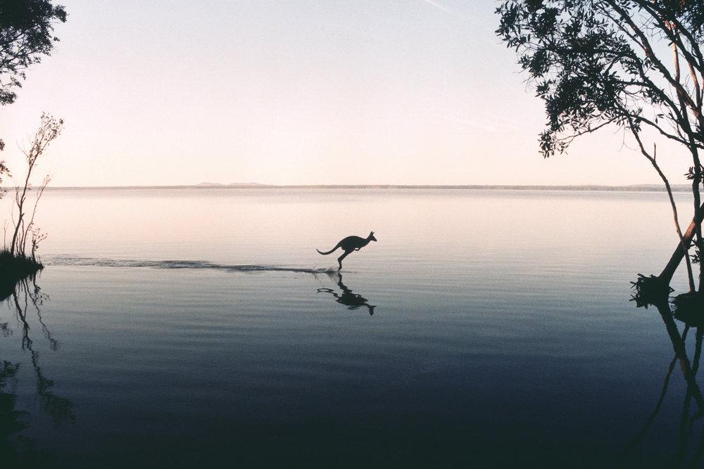 Kangaroo on Lake Cootharaba - QUEENSLAND