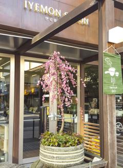 Kyoto cherry blossom.jpg