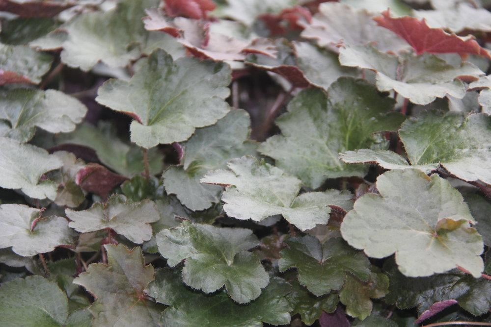 1 Gal Perennials $8.99-$15.99
