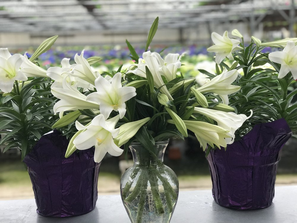 "10"" Easter Lily $15.99"