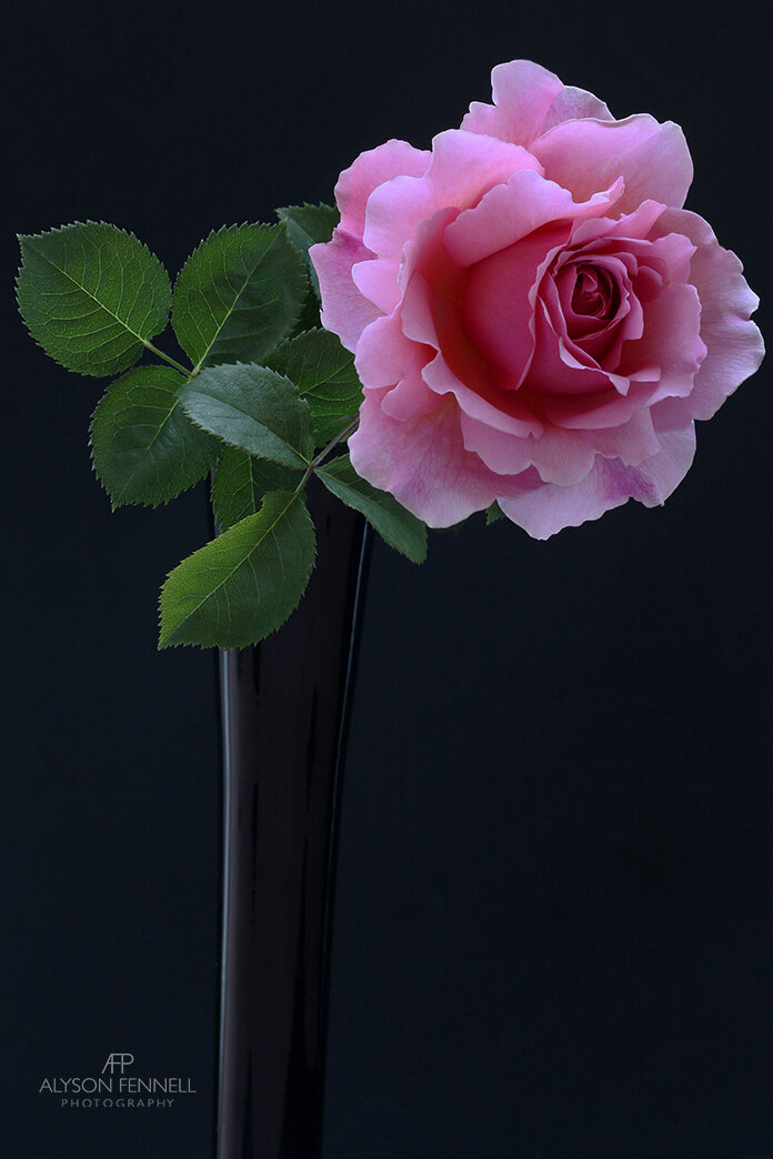English Rose Collection