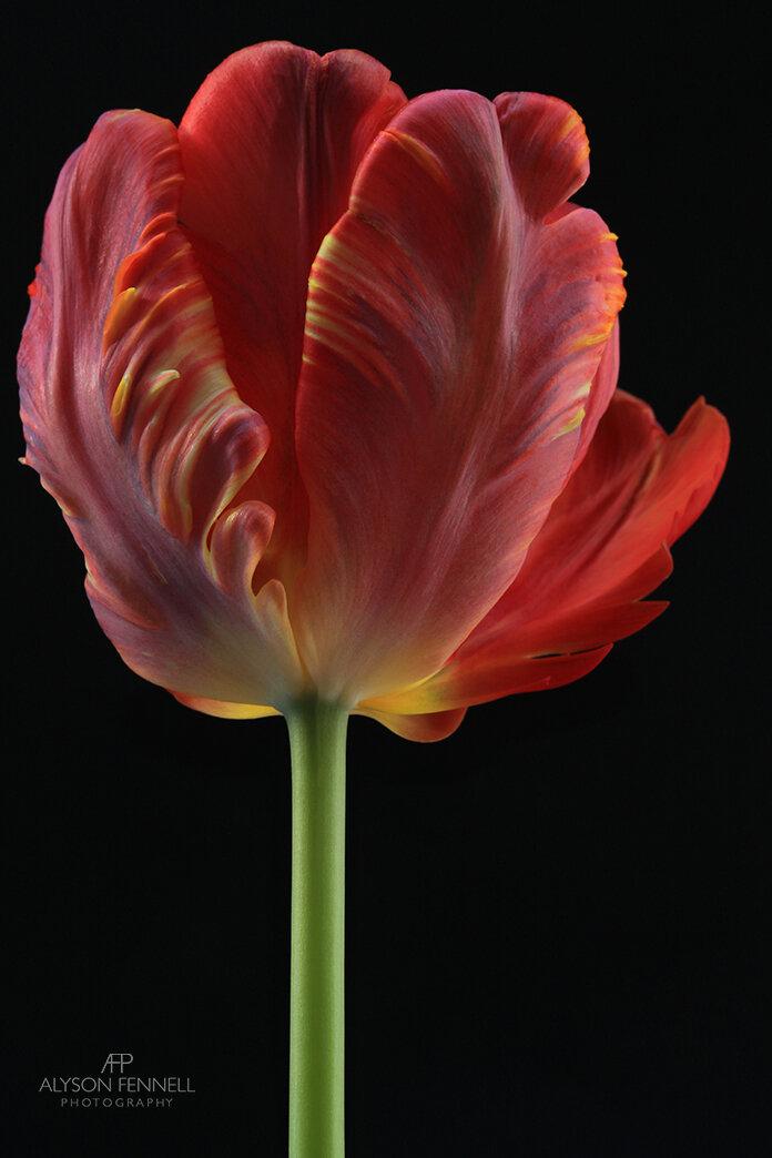 Orange Flame Tulip