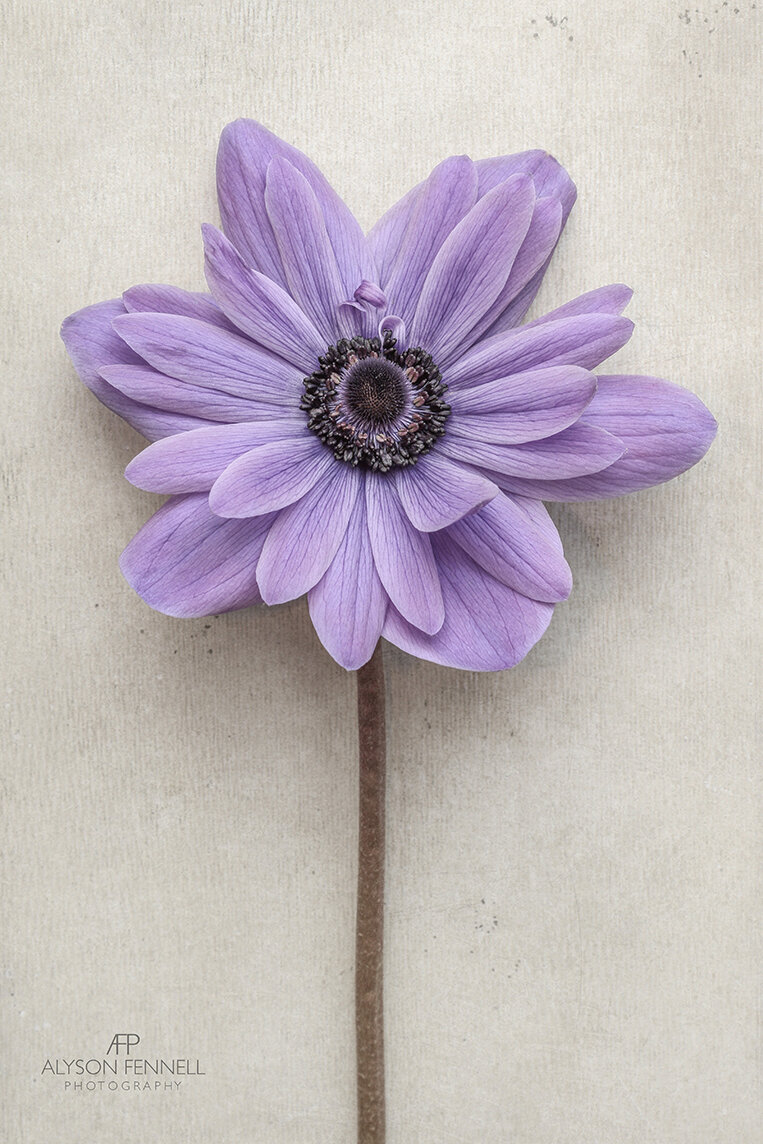 Pastel Purple Anemone