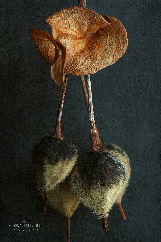 Basswood Seeds