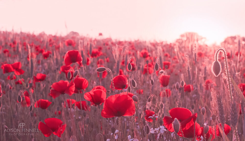 Early Morning Poppy Field