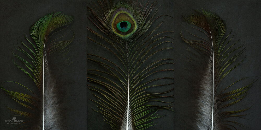 Peacock Feather Triptych