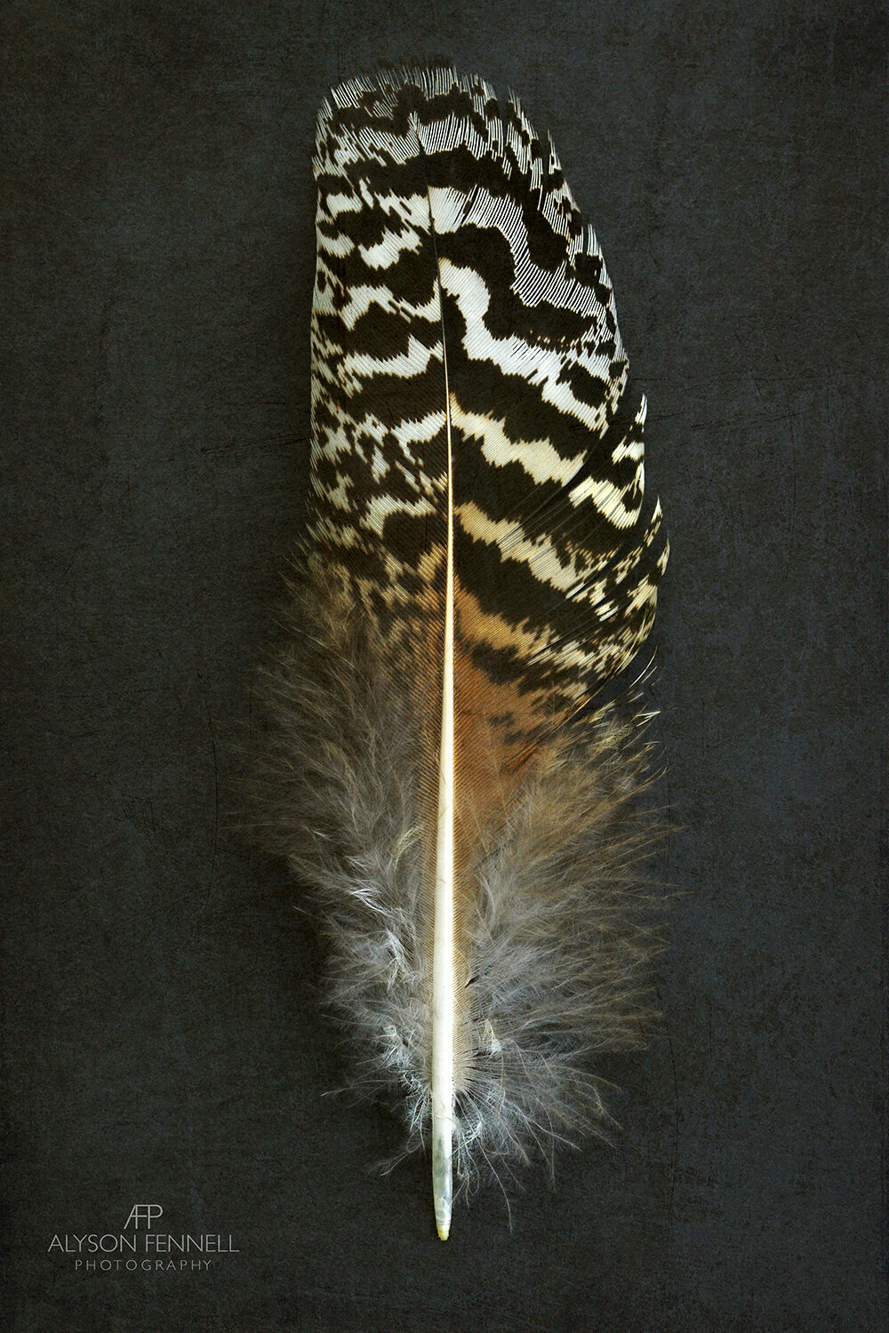 Speckled Peacock Feather