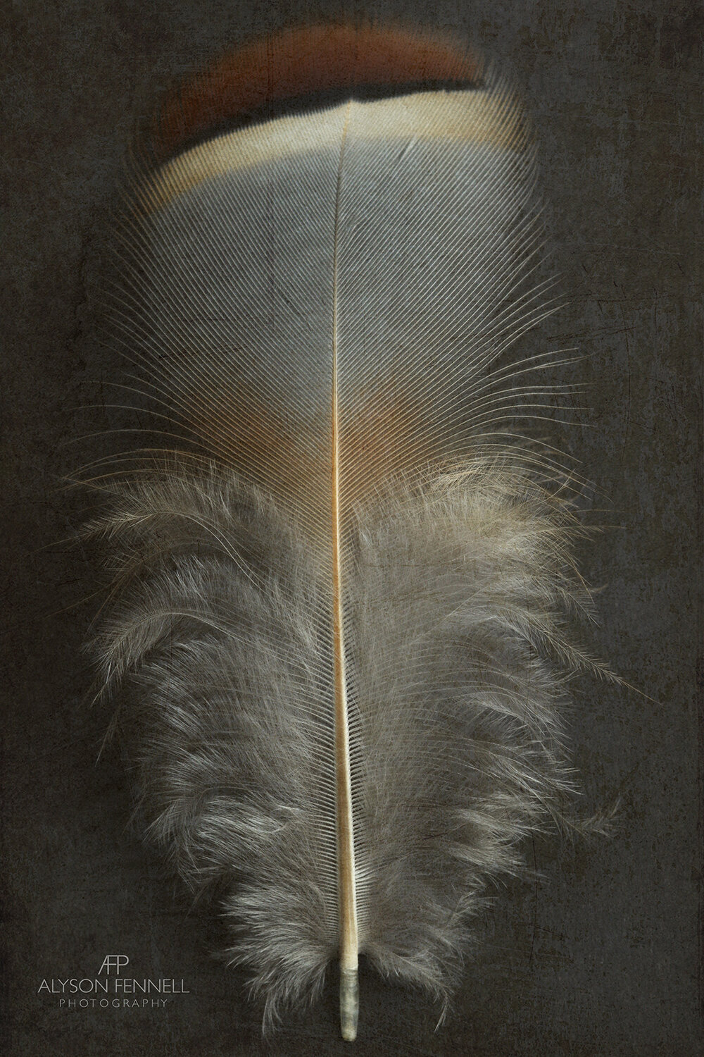 French Partridge Feather