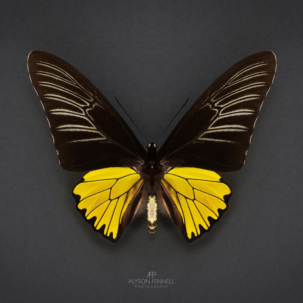 Troides Magnellanus Yellow Butterfly