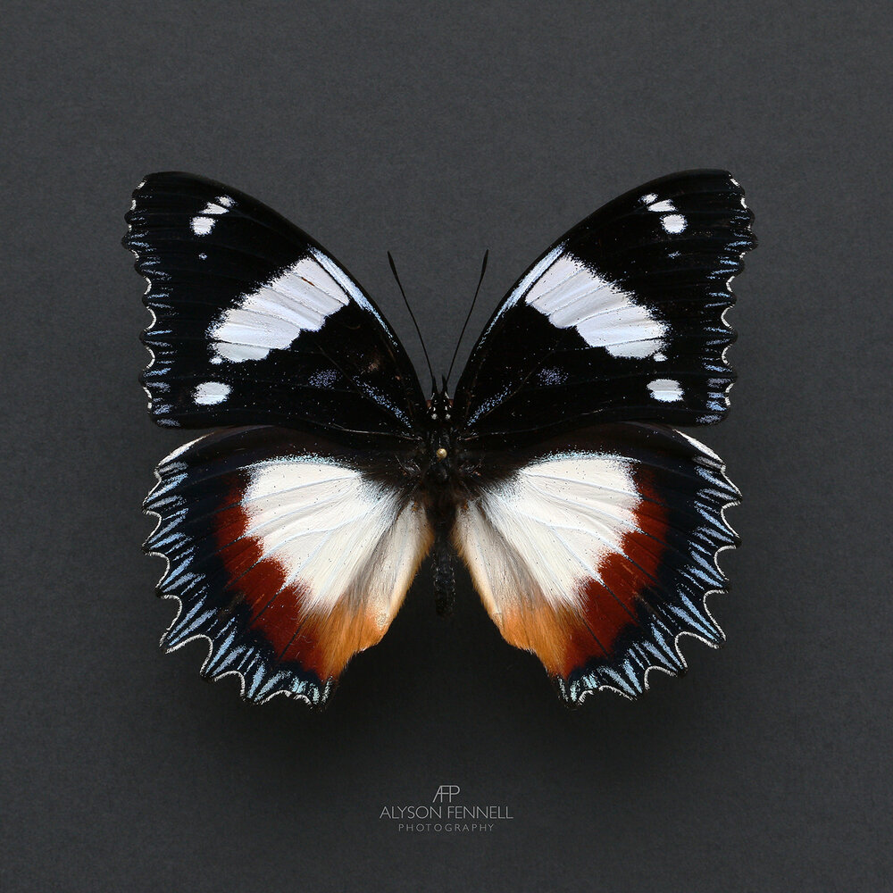 Madagascan Diadem Butterfly