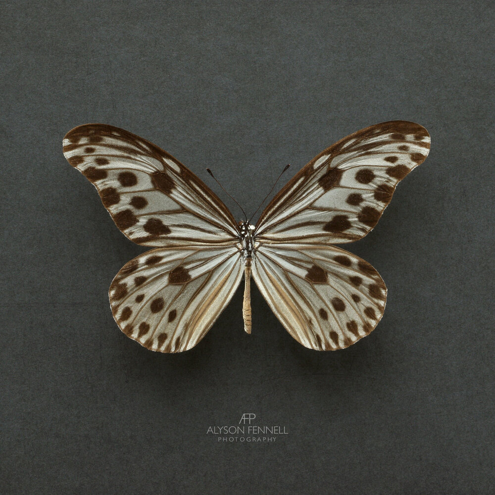 Ideopsis Gaura Philippine Wood (Nymph Butterfly)