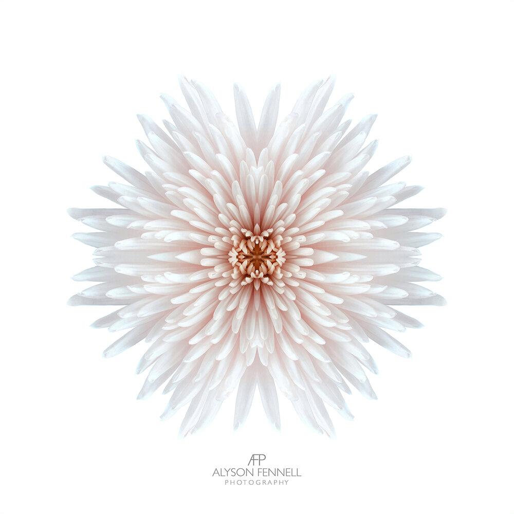 Chrysanthemum Bomb.