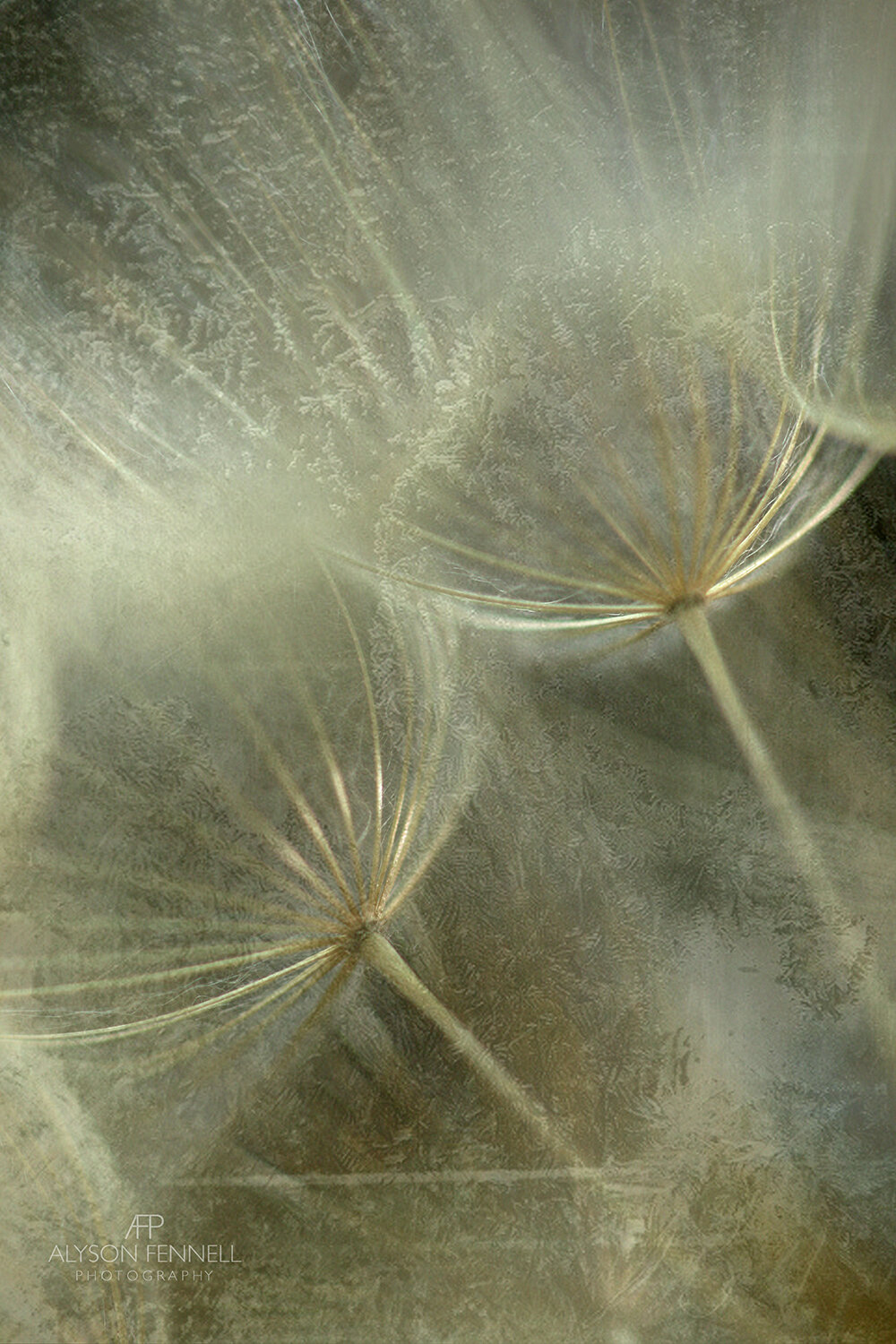 Salsify Seed Head Close on Ice Texture