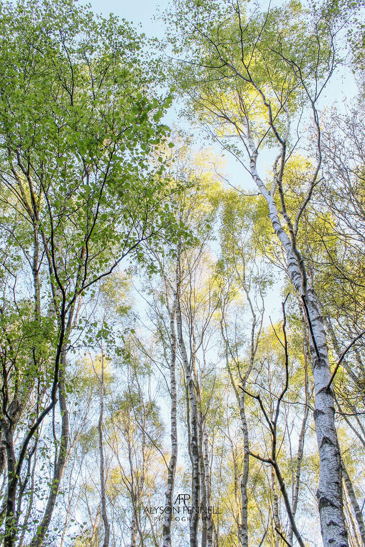 Spring Silver Birch Trees