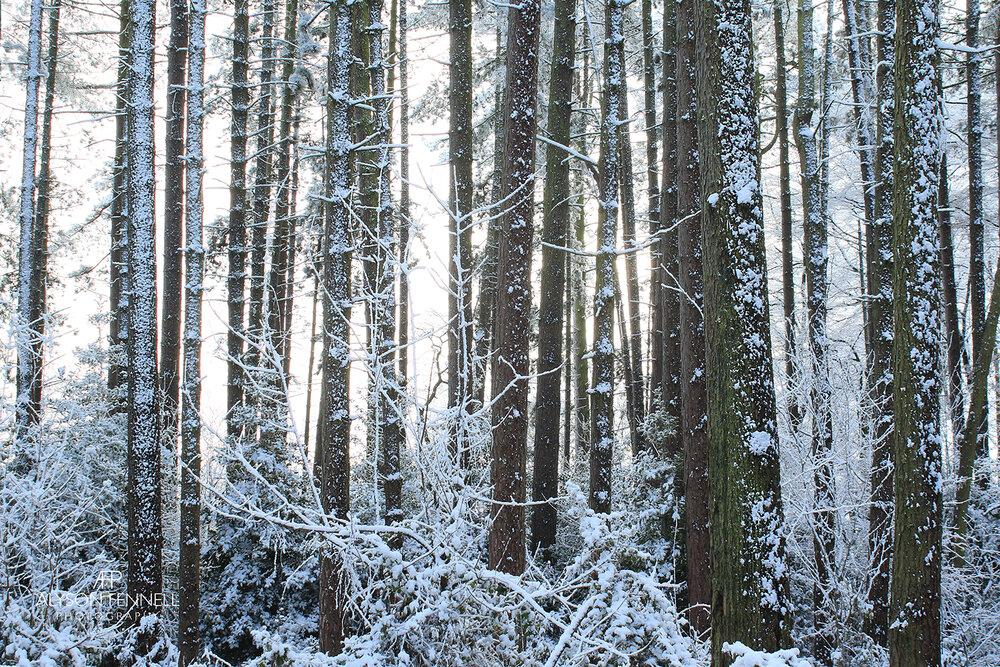Snowy Winter Pine Forest