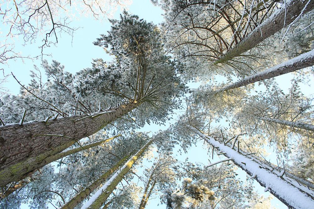 Tall Winter Pine Trees