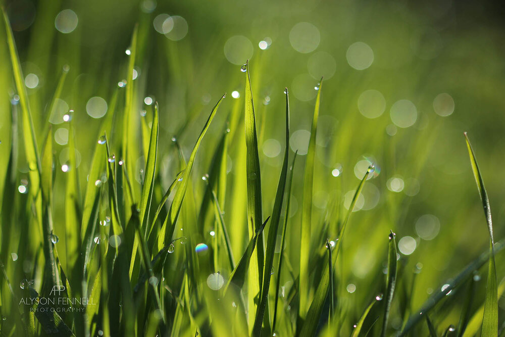 Green Grass and Dew Drops