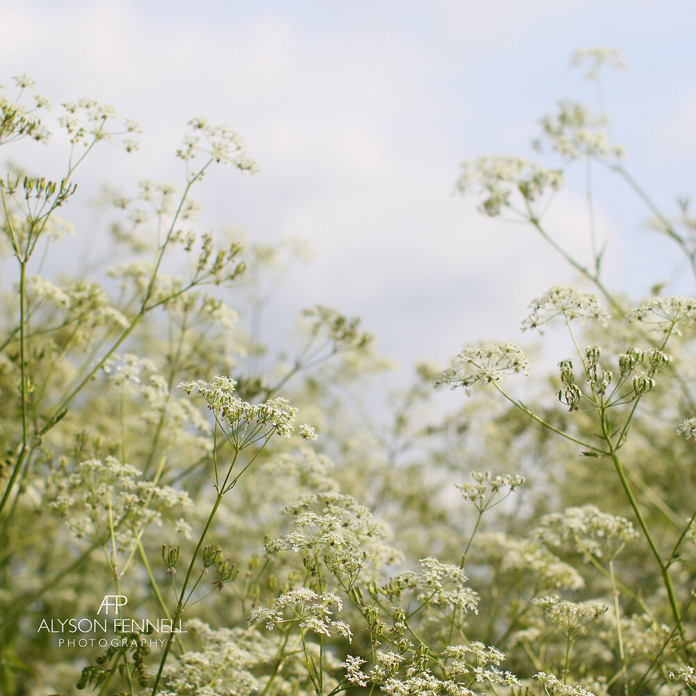 Summer Cow Parsley