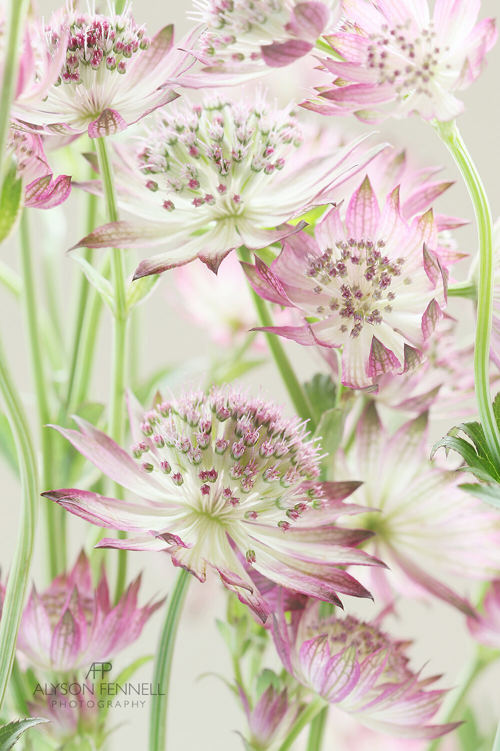 Pink Astrantia Flowers