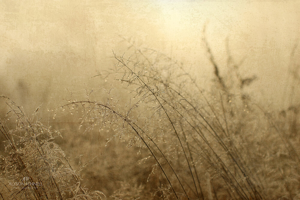 Winter Morning Grasses in Mist