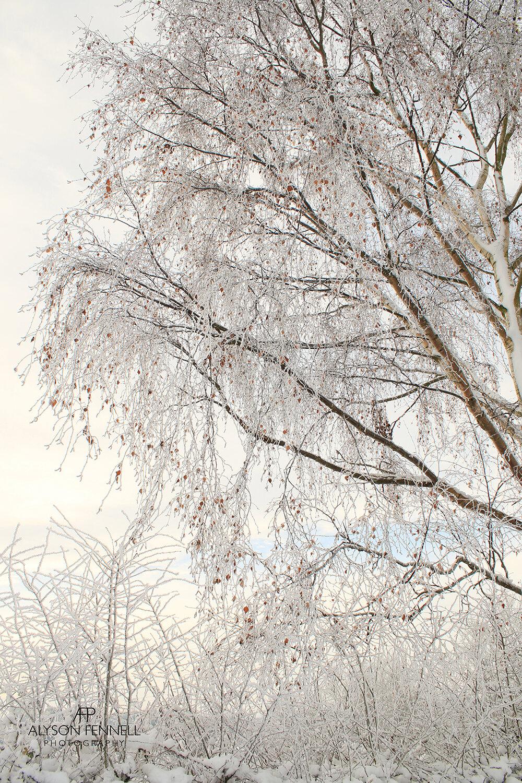 Winter Silver Birch