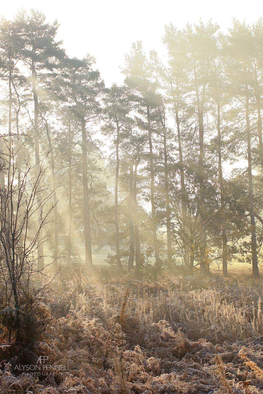 Morning Sun through Misty Winter Pine Trees.