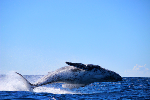 dreamstime_xs_44755011 Maddy881 whale breaching.jpg