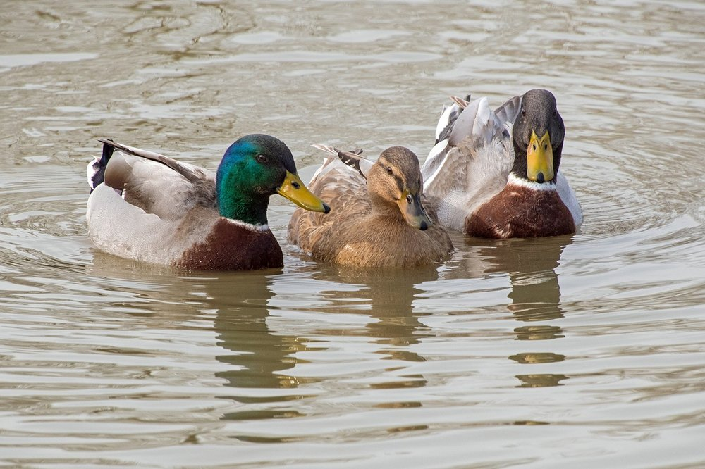 duck-2140731_1280.jpg