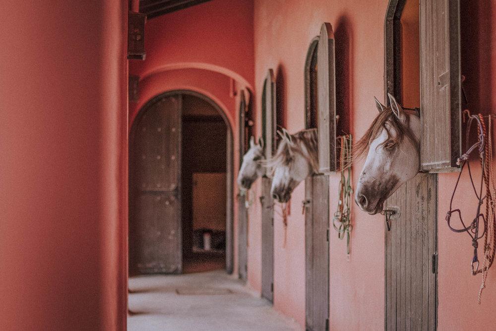 Andalusiske hingster  på Alfonsos fetters tyrefekteranlegg Cortijo Fuente Rey – en av de viktigste stallene i regionen. I midten er Lío, Alfonsos egne prakthingst, nylig kåret til beste tyrefekterhest på Spania-turné med matadorene. Til hverdags lever han et idyllisk liv som dressurhest og turistfavoritt på AlcántarA.