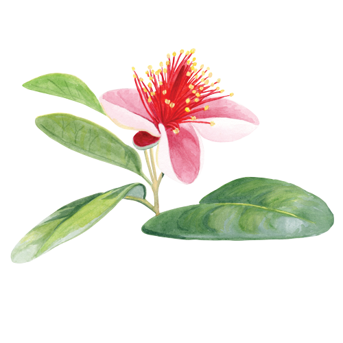 feijoa-flower-2.png