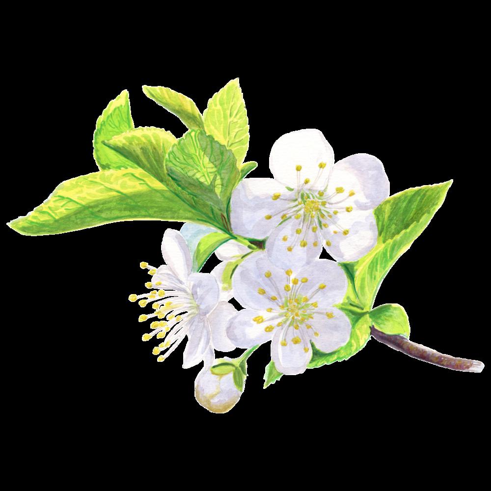 Cherry-flower-cc.png
