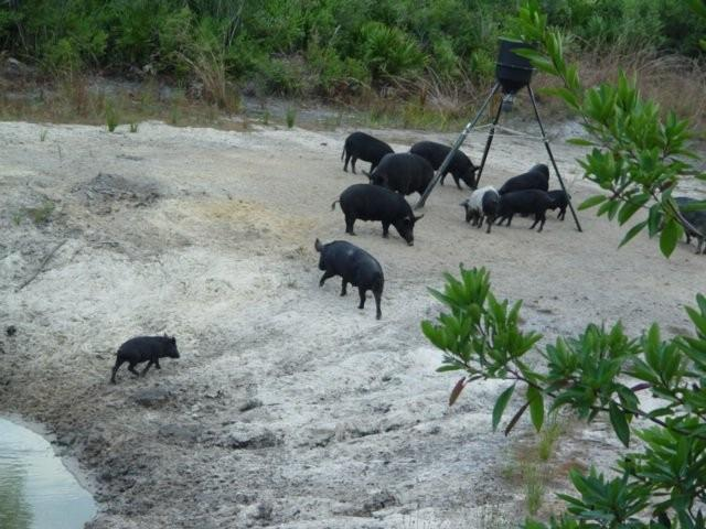 Copy of Hogs at feeder.jpg