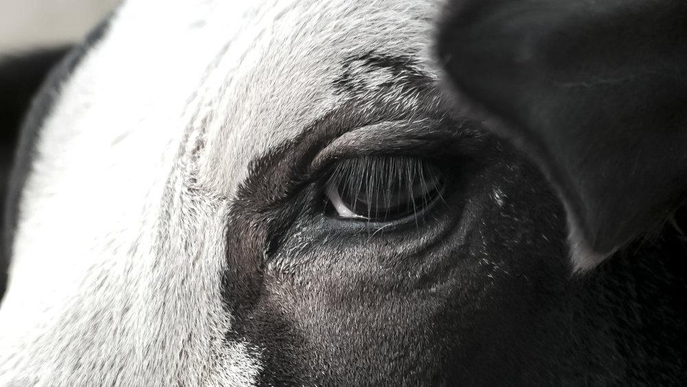 Cow eyes__.JPG