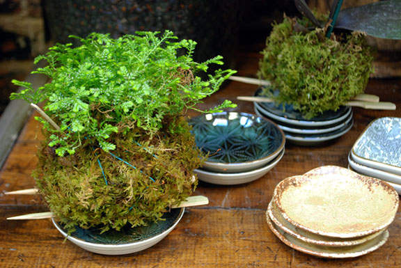 Selaginella Kokedama web edit.jpg