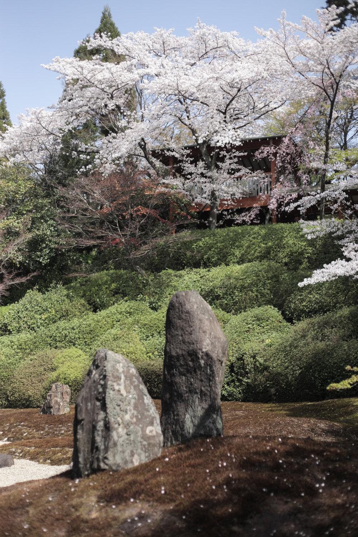 Cherry blossoms at Komyo-in Temple