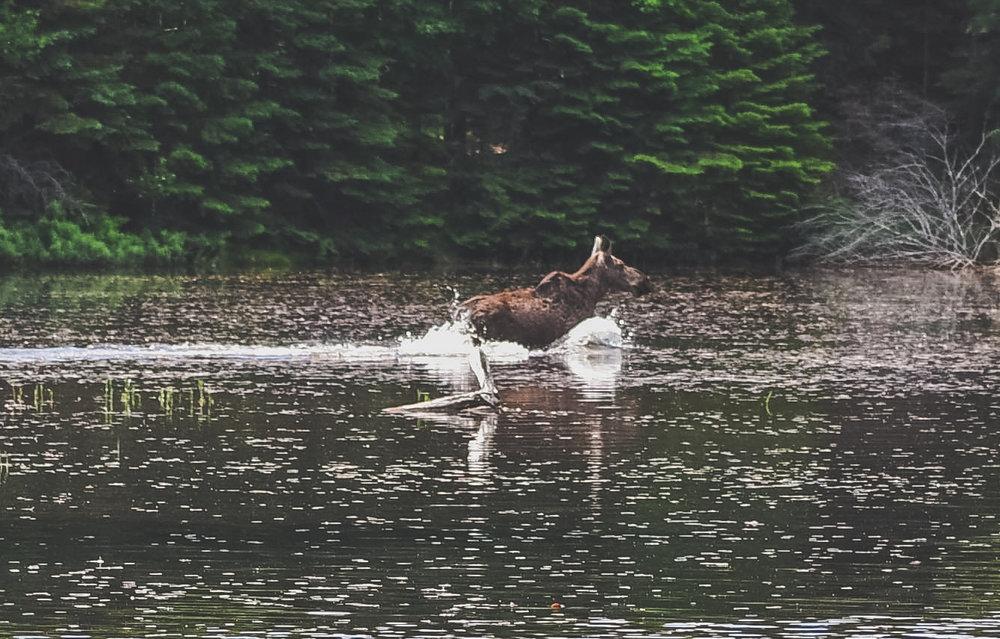 moose 3 - 1st day summer 2017 - land feel fade.jpg