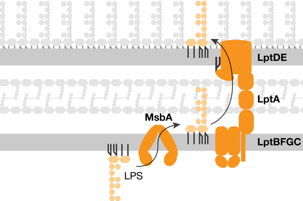 Lipopolysaccharide transport overview - Lipopolysaccharide (LPS) is first synthesized in the cytoplasm and then is transported across the aqueous periplasm and through the outer membrane via a protein bridge. Our lab studies the mechanism of LPS transport to understand how to inhibit outer membrane biogenesis.