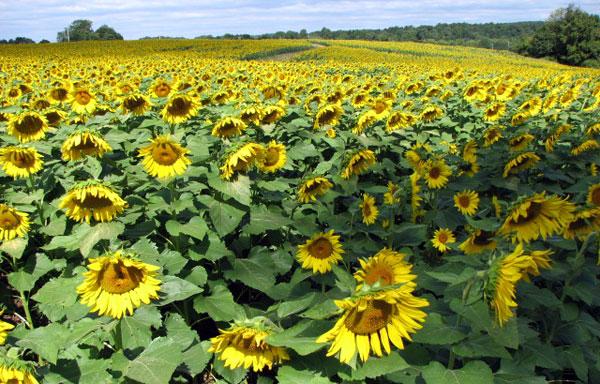sunfolowers.jpg