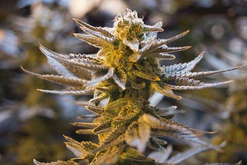 cannabis-2152605__340.jpg