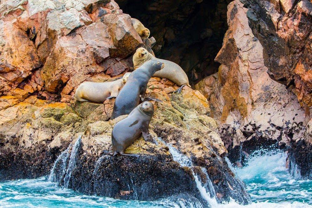 sea-lions-ballestas-islands-peru.jpg