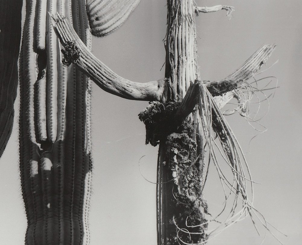 Saguaro Skeleton with Curls